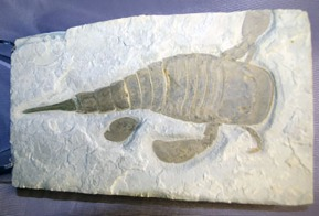 Item # 041014-4: Eurypterus remipes